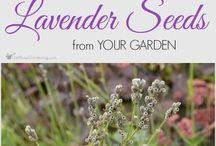 lavender deefs