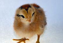 Chickens / My chickens