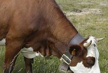 MFW - Cow