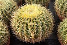 #cactus #crasas y #suculentas de #corma