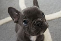 Frenchies / French Bulldogs
