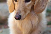DOGS/PETS / Dachshund
