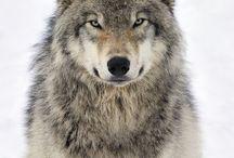 Wolf - Československý včák