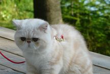 Happy chat / chat exotic shorthair