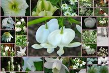 Hvide planter