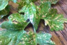 disease in vegetable plants
