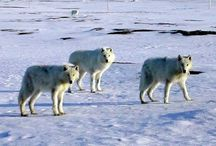 (Canada) Nunavut / News, information and status of wolves in NUNAVUT