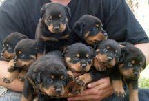 Rottweiler Yavrularıcbdhirhforiiririodiroriorj