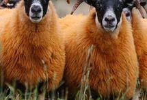 Koyunn :; sheep