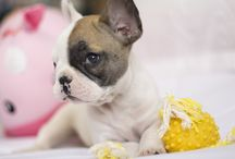 Chico, the frenchie ♡ / Pictures of Chico, the baby frenchie