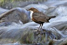 Burung Unik Ini Mampu Berenang dan Berjalan di Dasar Sungai