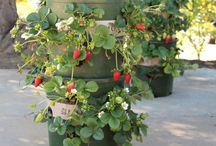 Home ~ Fruit Trees & Vegie Garden / Growing your own fruit & vegies