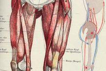 muscle & skeleton