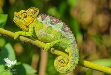 Nomadic by Nature Chameleons / Some images of chameleons from the Nomadic by Nature website.