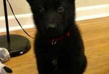 Black gsd puppies