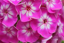 photos, flowers