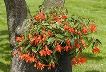 Begonia's / Verzameling van begonia's