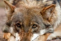 Czechoslovakian Wolfdog and Wolf