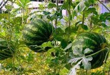 выращиваем в теплице