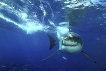Great white sharks / by Courtney Patterson
