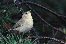 birds of Finland / suomeen eri lintuja