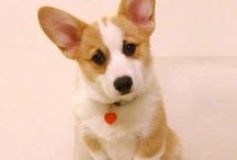 Corgie's / by Janese Williams