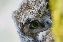 Ugle / Owls