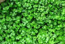 Ground Cover Plants / These low lying and often spreading plants help cover the soil in borders, controlling weeds and reducing evaporation of water.