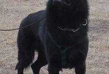 owczarek niemiecki czarny