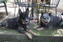 Australian Cattle Dog / Blue, Red, Queensland, Velcro Dog.... / by Margo Jean