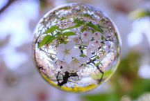 Sakura 桜 / 日本の綺麗な花です ( ̄▽ ̄) Cherry Blossom - Japanese most beautiful flower.