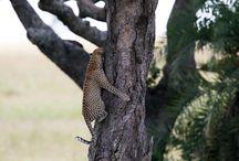 Tanzania / Med vildmarksområden som Serengeti, Ngorongoro och Tarangire är Tanzania en komplett safaridestination.