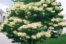 ornamental shrubs/ozdobne krzewy