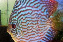Fish / Beautiful discus fish