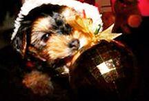 Valente / Yorkie yorshire dog mascota perro cachorro