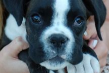 Our Boxer Family / Guinness, Mamba