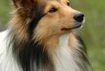 Shetland Sheepdogs (Shelties) / The best dogs in the world. This board is dedicated to Shamrock, just a fantastic dog!