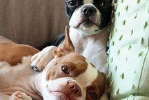 DOGS_Boston Terrier