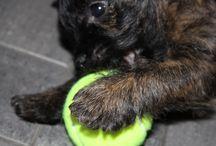 Dog / Cairn terrier