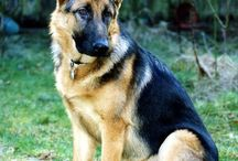 germanshepperd