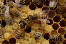 The Apiarium / All things Bees; honey, beekeeping, biology, arts and craft.