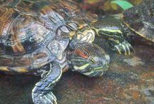 ✿ Pet Turtle ✿ / Got a pet turtle? We do too. Here's the habitat and tank set up ideas we've been looking at as well as turtle care info you need to keep your little friend happy and healthy.