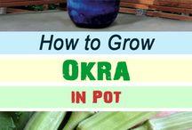 How to grow Okra
