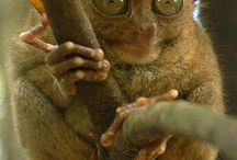 Tarsiers / I think they're cute