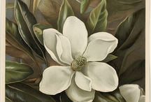 Botanical Art / Botanical paintings, drawings and prints past and present