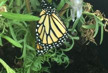 Our garden and Monarch Waystation