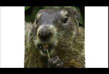 Bitchy Groundhog