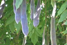 Seed pods etc