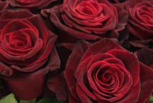 PANTONE: burgundy / red