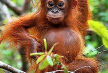 Orangutan love ❤